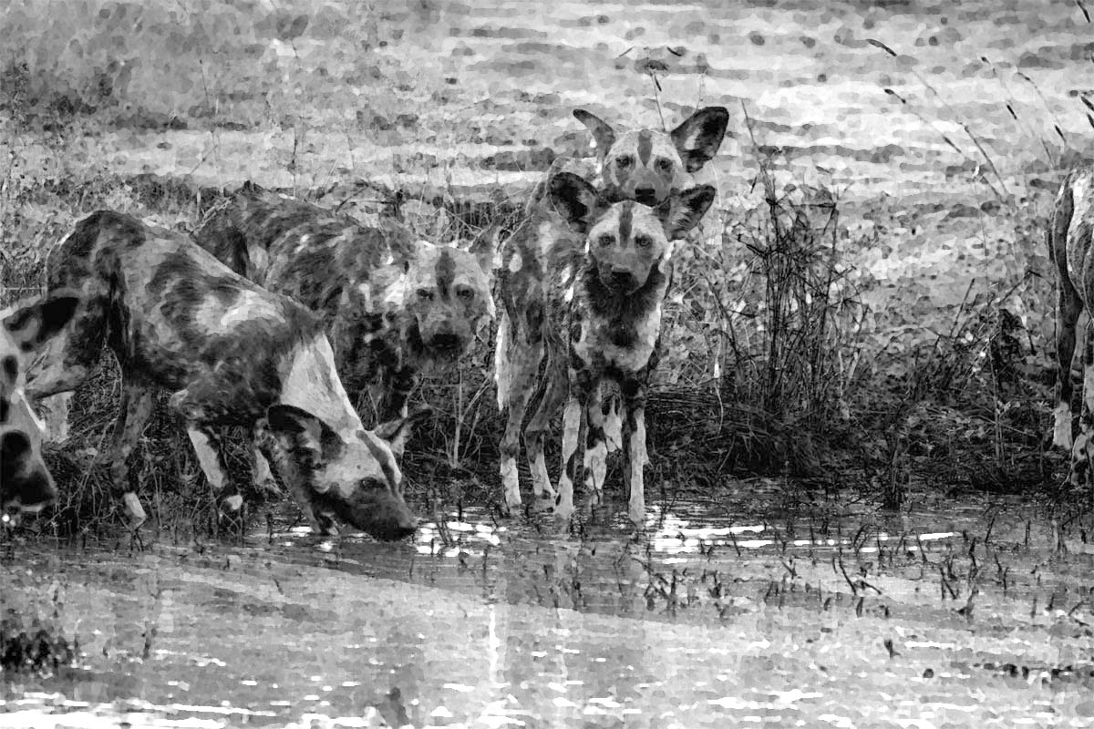 Pack of African wild dogs drinking in the Kruger National Park, South Africa (credit: Simoneemanphotography)